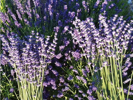 Chickens in the Lavender