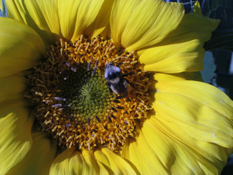 My sunflowers.