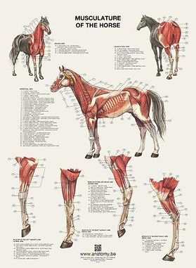 MUSCULATURE OF THE HORSE
