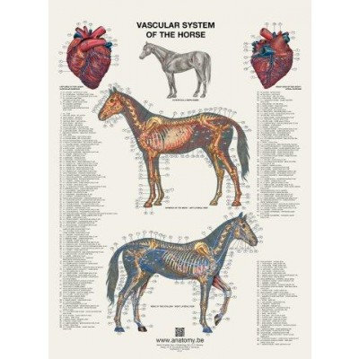 VASCULAR SYSTEM OF THE HORSE