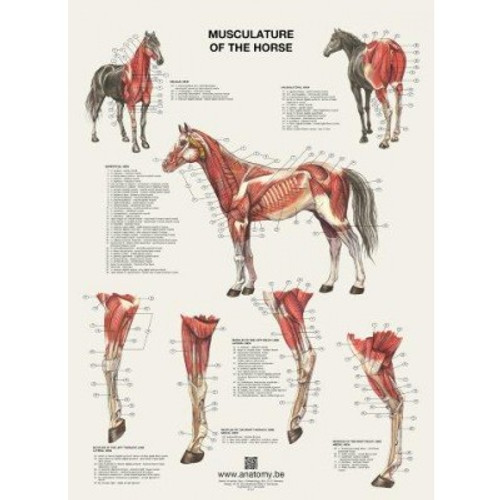 Horse Anatomy | Vlaanderen | Anatomy.be