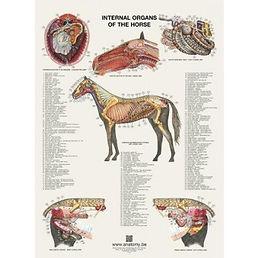 INTERNAL ORGANS OF THE HORSE