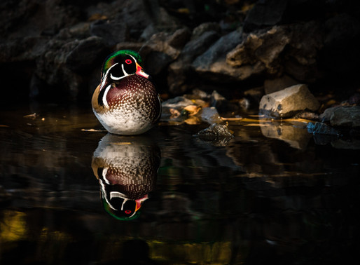 Wood Ducks on Golden Pond