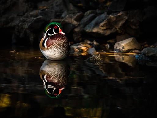 Wood Ducks on Golden Pond