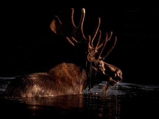 The Colorado Moose