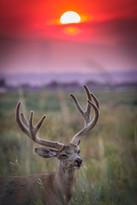 Deer at Sunset.jpg
