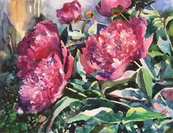 Розовые пионы цветут
