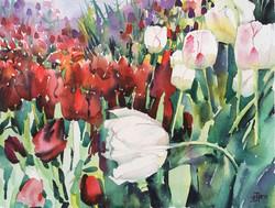 Tulip White Prince