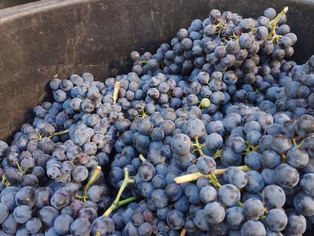 Découvrez les secrets de vinifications à Fourton