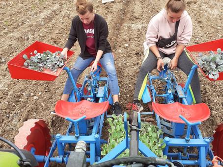 Savez vous comment on plante les choux à Fourton ?!!