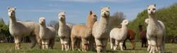 alpacas-of-the-lowlands-1024x309