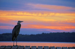 Harold the heron