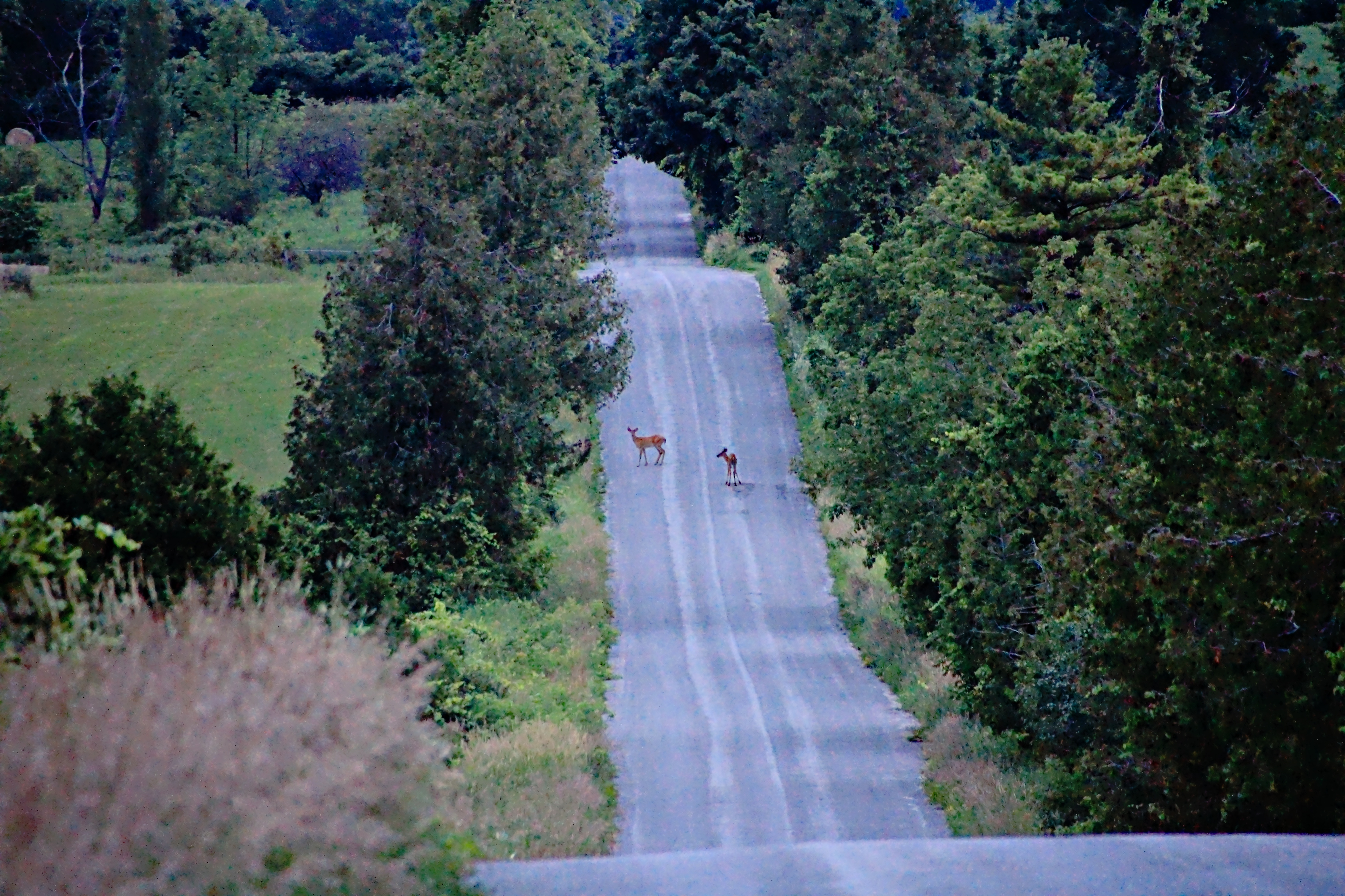 Deer on Island View Rd