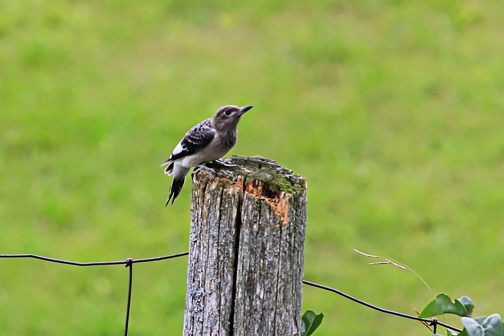 juvenile red headed wood pecker