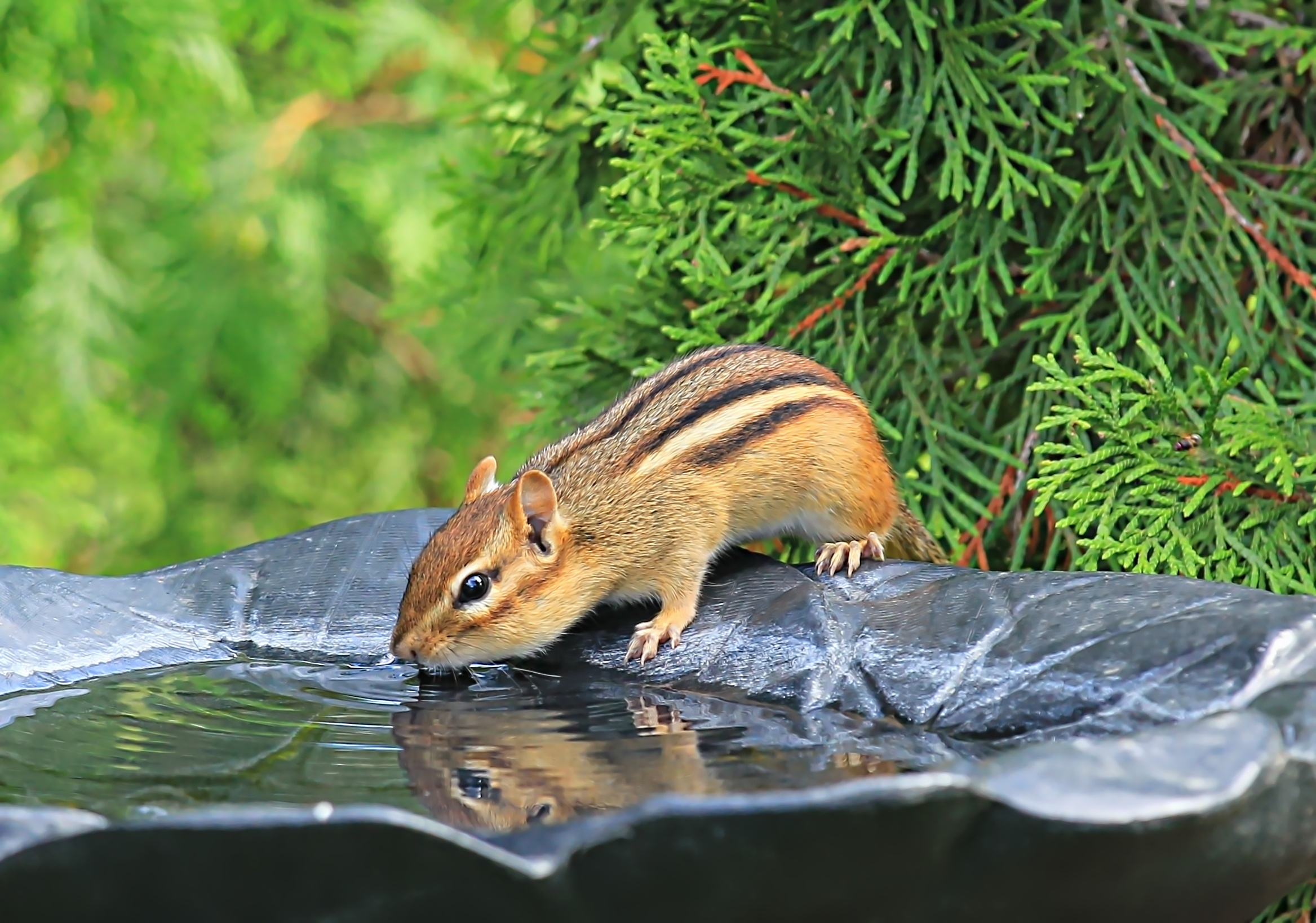 Chippy sneaking a drink