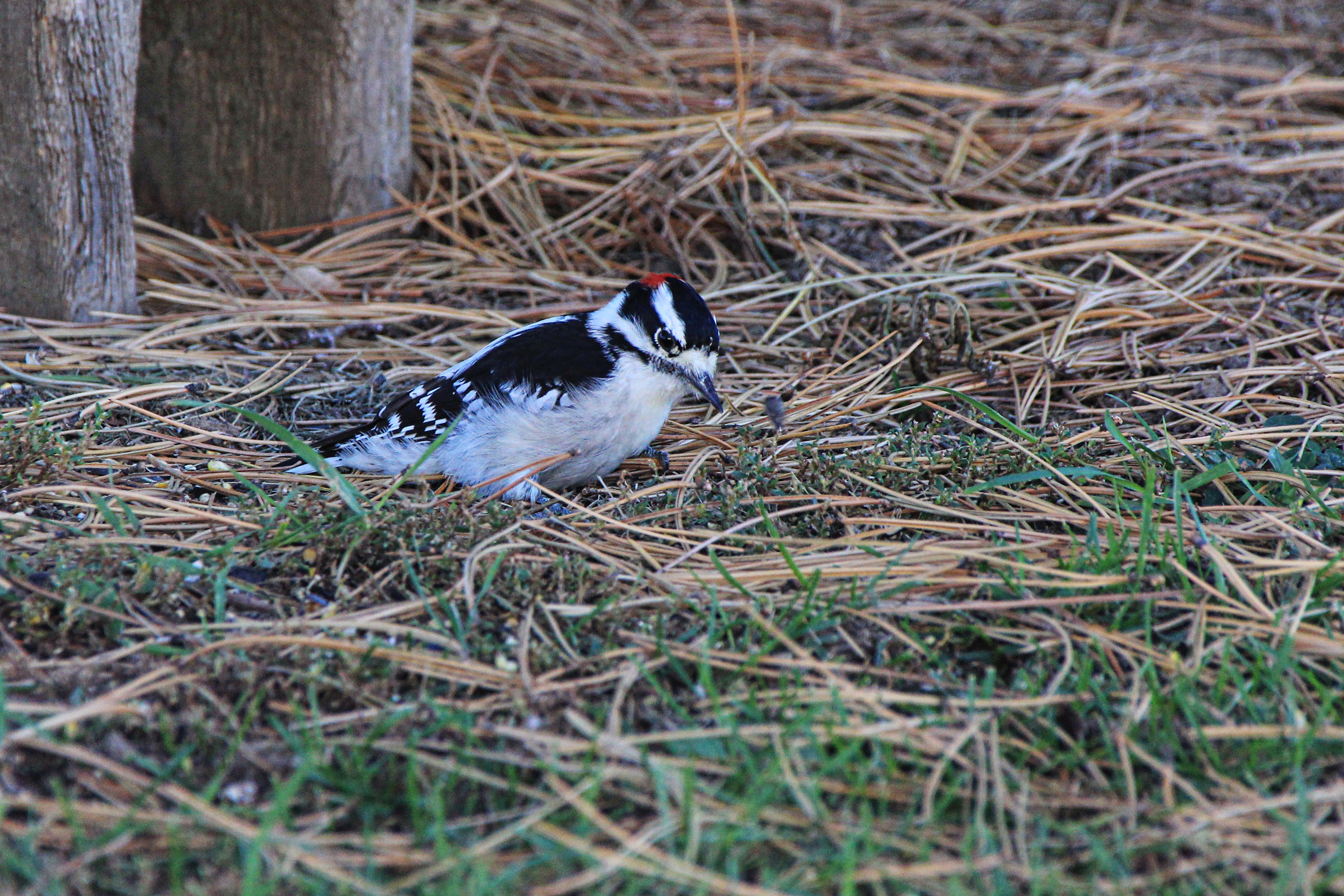 Downy wood pecker
