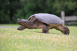 Mama snapping turtle