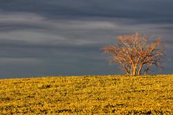Evening light on a soy bean field