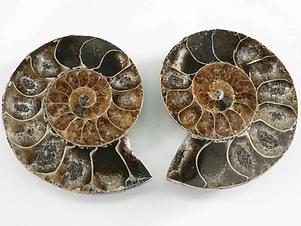 ammonite pair polished