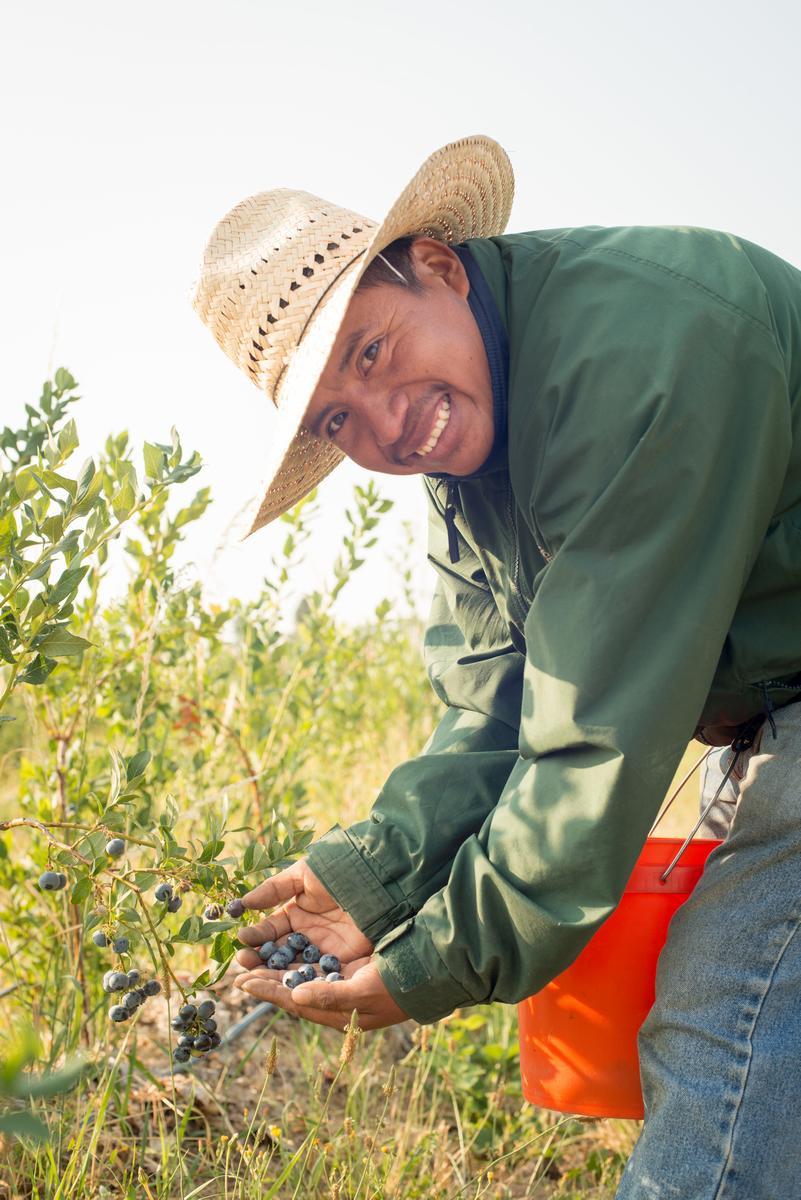 A man picking blueberries