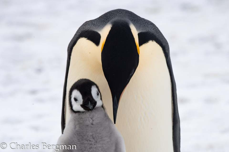 Papa and baby Emperor Penguin, Photo of the Month at Wild Planet Magazine