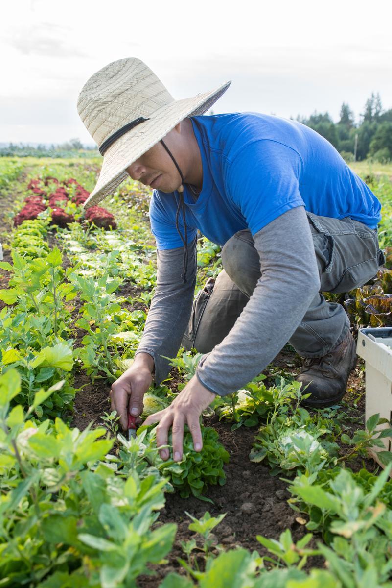 Worker in the lettuce field