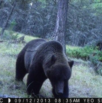 large boar grizzly-premier 2013.jpg