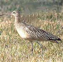 long billed curlew.jpg