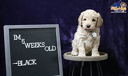 Black 5 Weeks.JPG