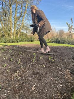 Planting Out Antirrhinum