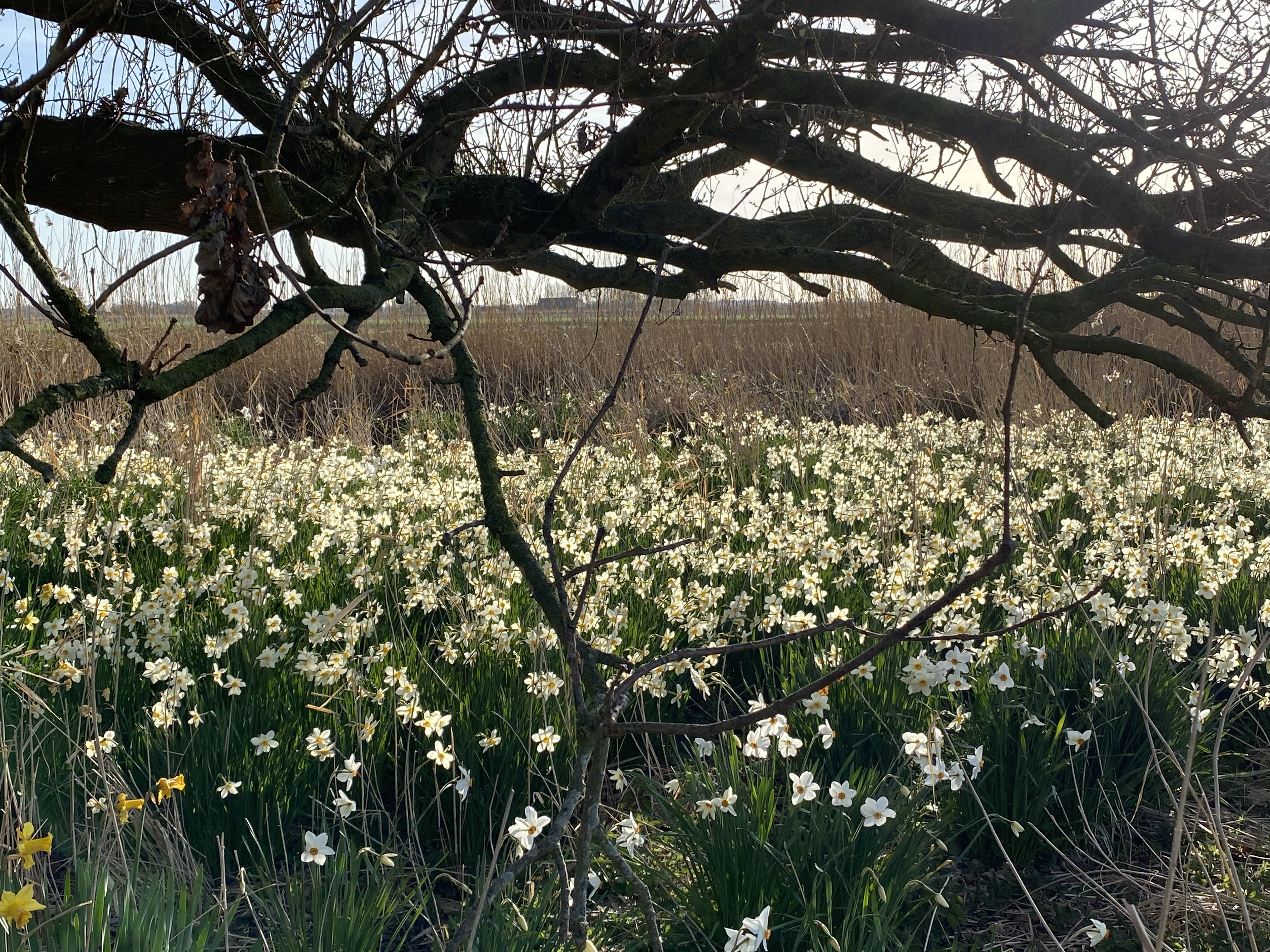Our 'Willow Field' of Daffodils