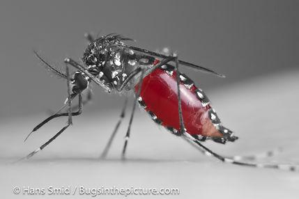 Female Aedes Aegypti (Mosquito)