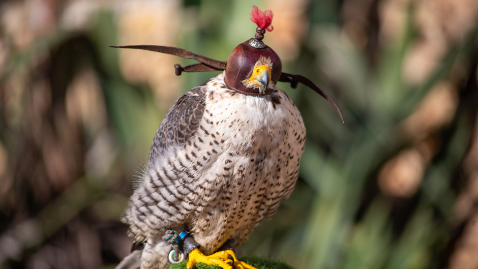 The Practice of Falconry