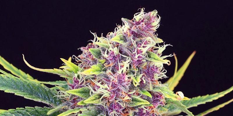 Blueberry_Kush_The_hero