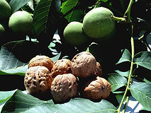 Tasmania Walnut tree variety