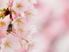 大好評〝ありがとう桜〟今年も数量限定販売中!