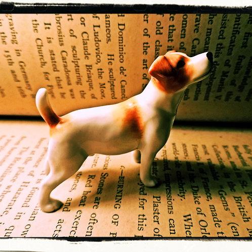 Miniature Jack Russell