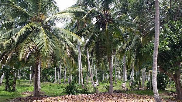 www.tumbltd-Coconut-Plantations.jpg