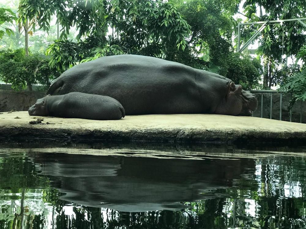 Flodhester i København Zoo