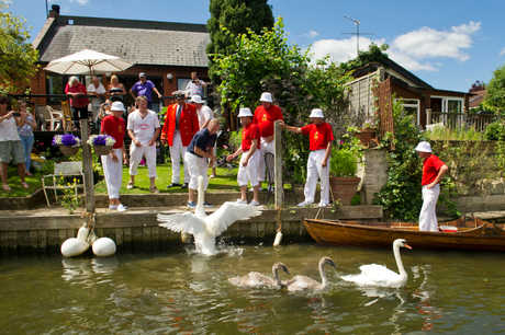A team of Swan Uppers led by the Queen's Swan Marker David Barber row up the River Thames between Shepperton and Staines weighing and tagging cygnets in Surrey.