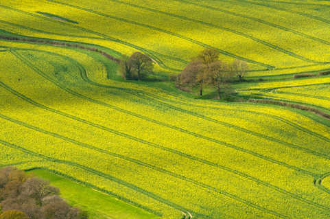Rapeseed fields in Oxfordshire.