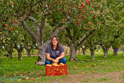 The orchards at RHS Wisley were brimming with fruit as the autumn harvests begins. Picture shows RHS student Naomi Kashiwazaki helping with the apple picking.