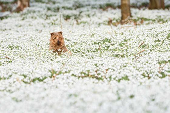 Snowdrops at Welford Park, Berks.