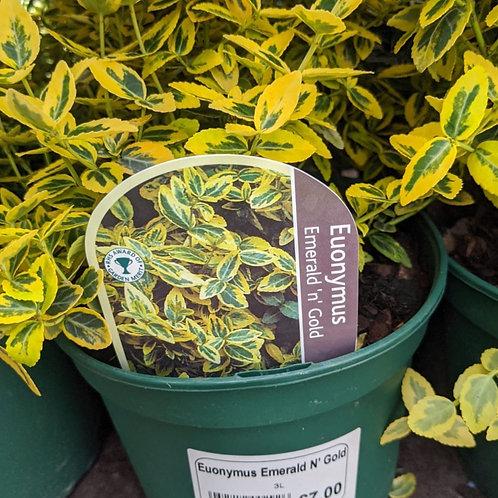 Euonymus Emerald 'n' Gold  3ltr pot