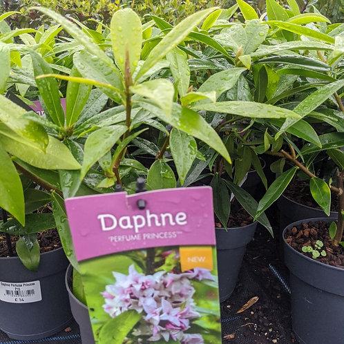 Daphne perfuma Princess