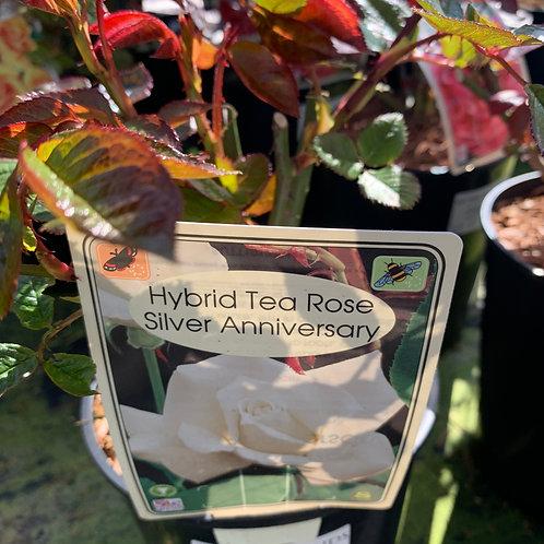 'Silver Anniversary' HT