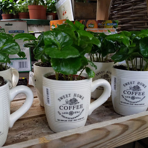 Coffea plant in mug