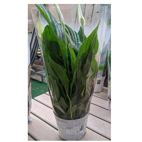 Spathyphyllum bellini  'Peace Lily'