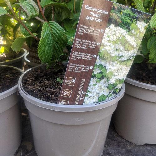 Viburnum plicatum Mariesii Great Star   3L pot