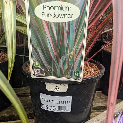 Phormium Sundowner